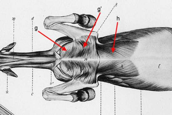 The Pectoral muscles