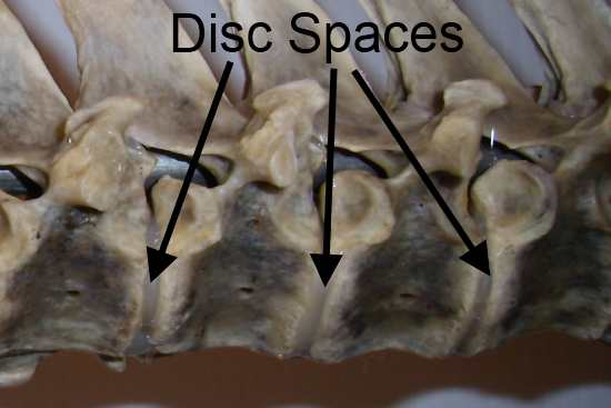 2012_Feb_10_2_equine_spine_discs.jpg