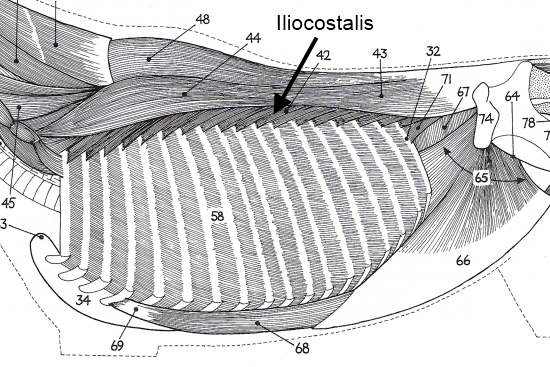 2012_Oct_8_3_illiocostalis.jpg