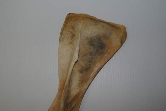 2011_Oct_21_7_cartilage_attachment_point_on_scapula.jpg
