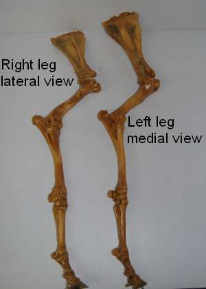 2011_Oct_21_2_lateral_and_medial_foreleg.jpg