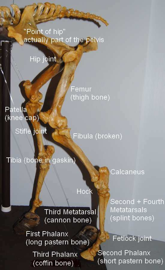 2011_Nov_29_2_hind_limbs_labelled_DSC_6698.jpg