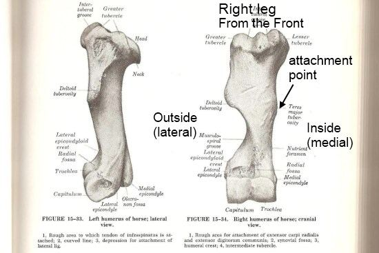 The Latissimus Dorsi muscle