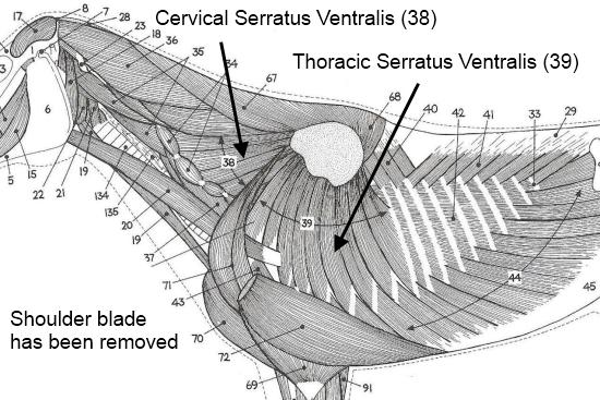 2012_July_14_2_serratus_vetnralis_2.jpg
