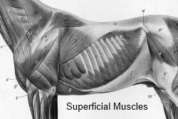 2012_April_14_Rib_cage_5_Muscles_superficial.jpg