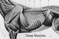 2012_April_14_Rib_cage_4__Muscles_deep.jpg