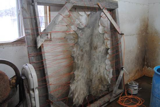 2014 Oct 30 7 deer hides drying.jpg