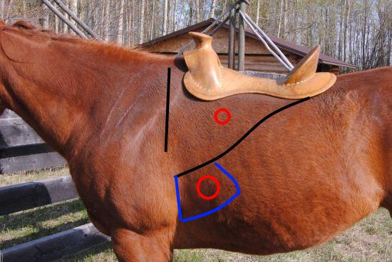 2012_July_14_8__rigging_and_cinch_ring_positions_and_the_equine_serratus_ventralis_msucle.jpg