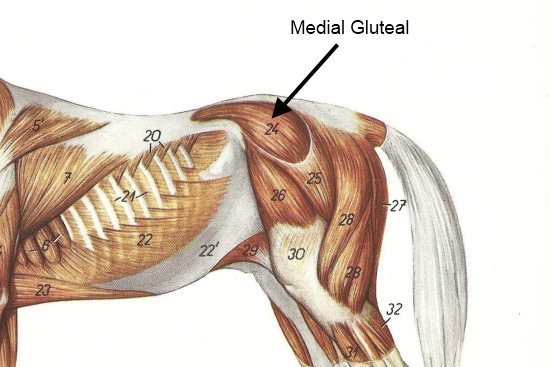 the medial gluteal muscle