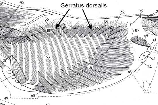 2012_Oct_8_2_Serratus_dorsalis.jpg
